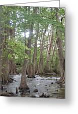 Cypress Trees Cypress Knees Greeting Card