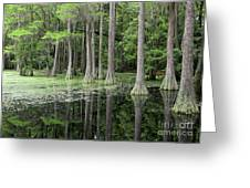 Cypresses In Tallahassee Greeting Card