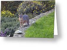 D-a0037 Gray Fox On Our Property Greeting Card