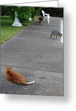 D-a0050-dc Gray Fox And Our Cat On Our Pool Deck Greeting Card
