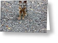 D-a0051-dc Gray Fox Pup Greeting Card