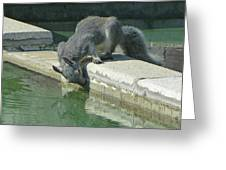 D2b6341-dc Gray Squirrel Drinking From The Pool Greeting Card