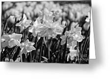Daffodil Glow Monochrome By Kaye Menner Greeting Card