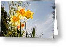 Daffodils Backlit Greeting Card