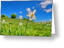 Daffodils Blossimg At Cavalla Plains 2017 II - Fioritura Dei Narcisi Al Pian Della Cavalla 2017 Greeting Card