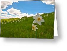 Daffodils Blossimg At Cavalla Plains 2017 Iv - Fioritura Dei Narcisi Al Pian Della Cavalla 2017 Greeting Card