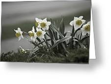 Daffodils Desaturated Greeting Card