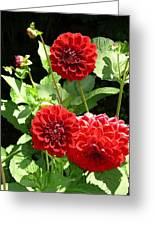 Dahlia 1 Greeting Card