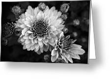 Dahlia Burst B/w Greeting Card