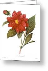 Dahlia (dahlia Pinnata) Greeting Card by Granger
