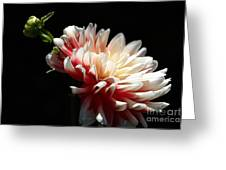 Dahlia Dreaming Greeting Card