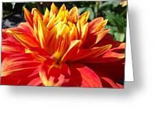 Dahlia Florals Orange Dahlia Flower Art Prints Canvas Greeting Card