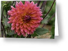 Dahlia In Bloom 19 Greeting Card