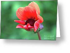 Dahlia On The Verge Greeting Card