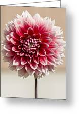 Dahlia- Pink And White Greeting Card