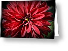 Dahlia Radiant In Red Greeting Card