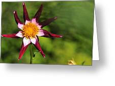 Dahlia Red White And Green Greeting Card