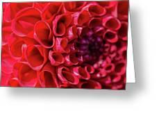 Dahlia Study 3 Greeting Card