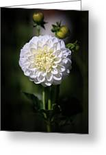 Dahlia White Flowers II Greeting Card