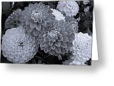 Dahlias Multi Bw Greeting Card