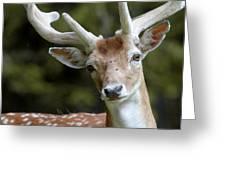 Daim Haute Savoie Greeting Card