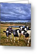 Dairy Heifer Groupies Future Chick-fil-a Starrs Greeting Card