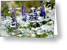 Daisies And Lupine Greeting Card