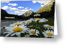 Daisies By Mcdonald Creek With Mt Cannon, Glacier Park Greeting Card