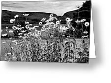 Daisies By The Roadside At Loch Linnhe B W Greeting Card