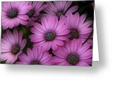 Daisies In Dakota Greeting Card