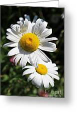 Daisies In The Sunshine Greeting Card