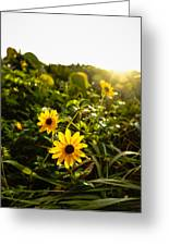 Daisies Tangled Sunrise Delray Beach Florida Greeting Card