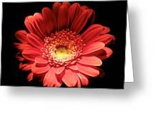 Daisy 03 Greeting Card