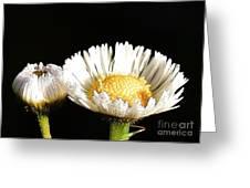 Daisy 6 Greeting Card