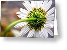 Daisy Back Greeting Card