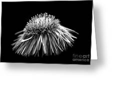 Daisy Flea Bane 0619c Greeting Card