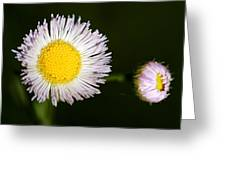 Daisy Fleabane 2 Greeting Card
