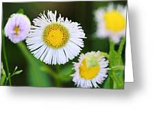 Daisy Fleabane Greeting Card