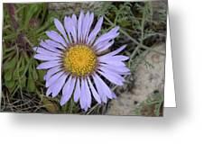 Daisy Fleabane Greeting Card