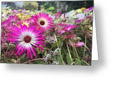 Daisy Flower In Jeju Greeting Card