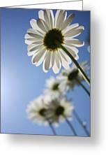 Daisy Parade Greeting Card