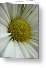 Daisy Greeting Card by Patricia M Shanahan