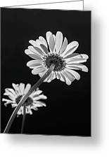 Daisy Reaching For The Sun Greeting Card