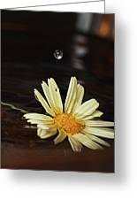 Daisy With Water Droplet Greeting Card