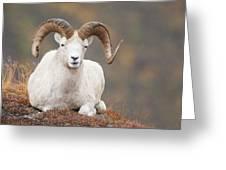 Dall Sheep Ram Greeting Card