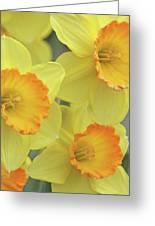 Dallas Daffodils 24 Greeting Card