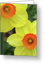 Dallas Daffodils 36 Greeting Card