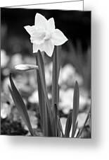Dallas Daffodils 53 Greeting Card