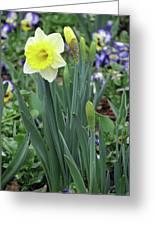 Dallas Daffodils 63 Greeting Card