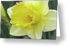 Dallas Daffodils 80 Greeting Card